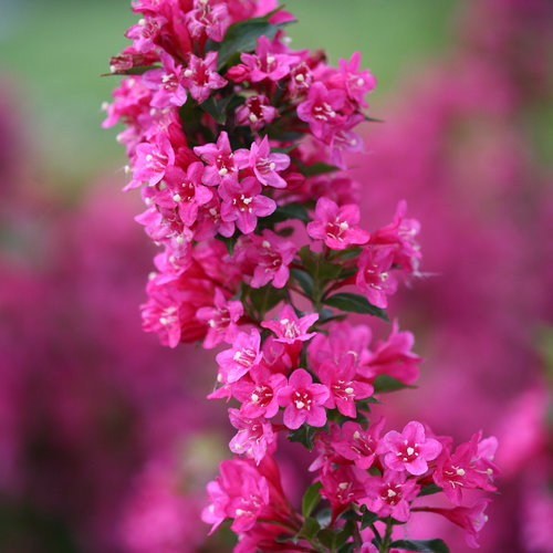 sonic_bloom_pink_weigela-0573.jpg
