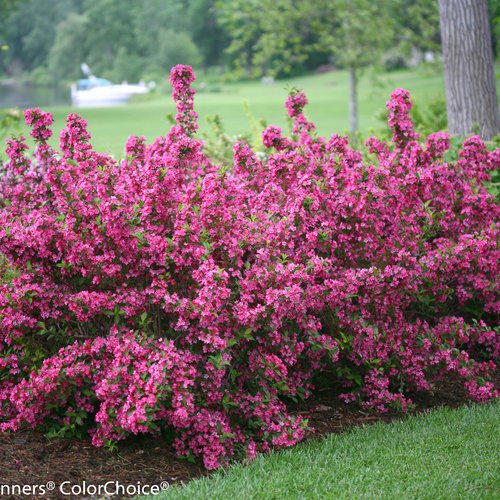 sonic_bloom_pink_weigela-0631.jpg