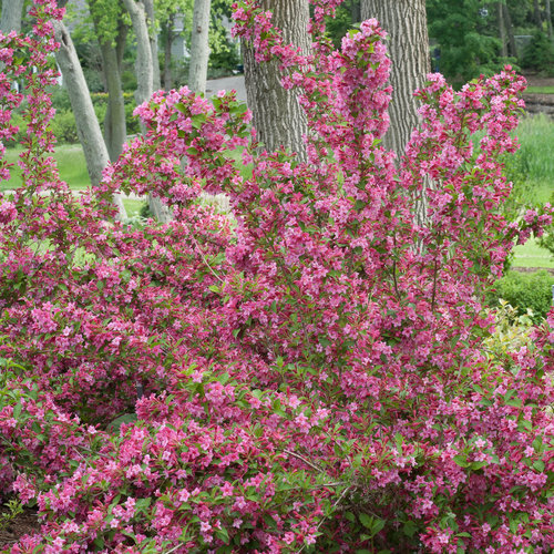 sonic_bloom_pink_weigela-1928.jpg