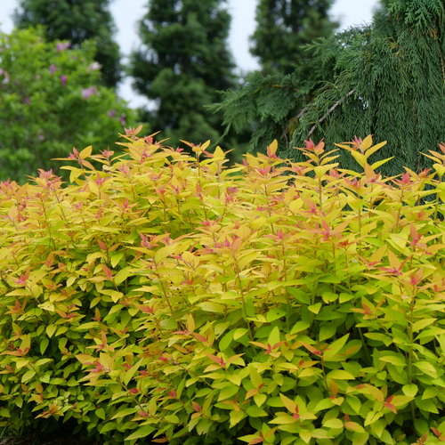 spiraea_double_play_candy_corn_p1075830.jpg