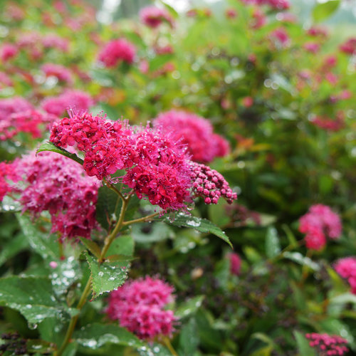 spiraea_double_play_doozie_p2410638.jpg