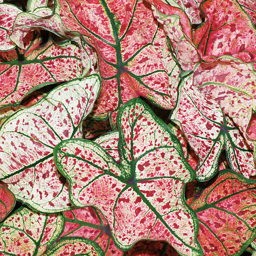 Heart to Heart™ 'Splash of Wine' - Fancy Caladium - Caladium hortulanum