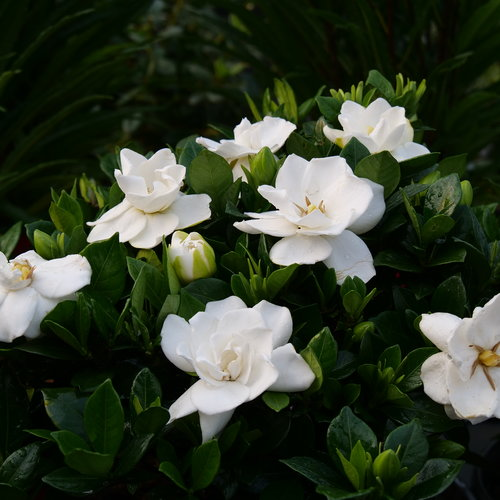 Steady as She Goes™ - Gardenia jasminoides