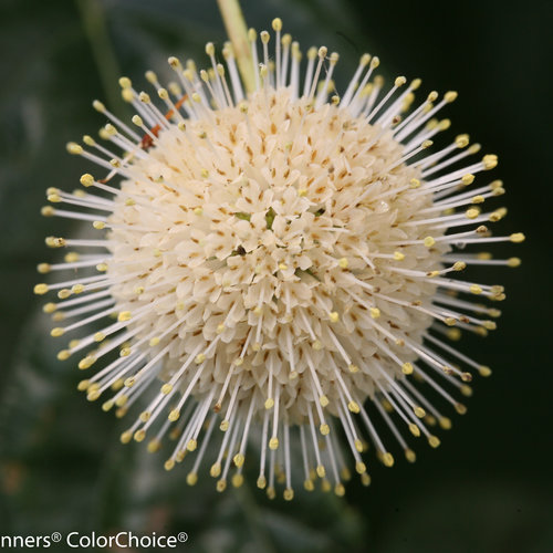 Sugar Shack® - Buttonbush - Cephalanthus occidentalis