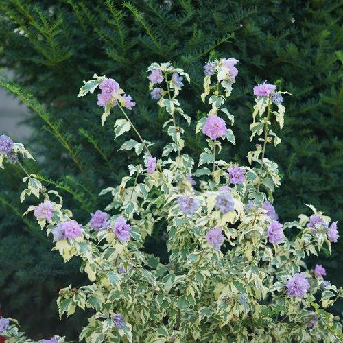 sugar_tip_gold_hibiscus_2.jpg