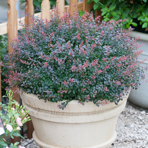Sunjoy® Mini Salsa - Barberry - Berberis thunbergii