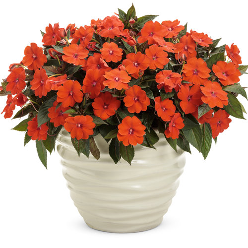 SunPatiens® Compact Orange - Impatiens x hybrida