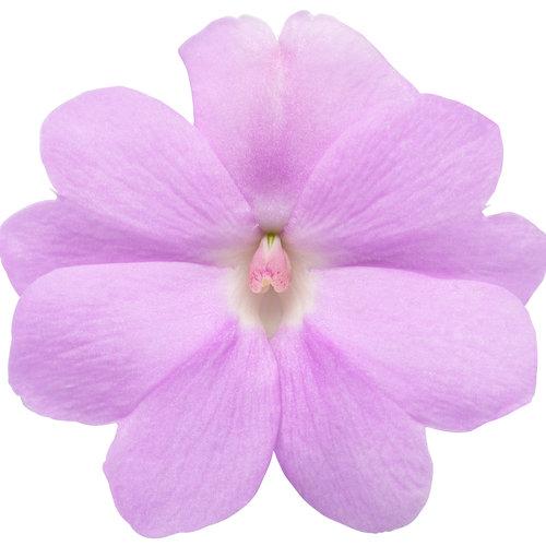 sunpatiens_compact_orchid_macro-02.jpg