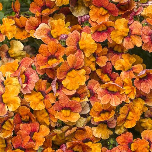 Sunsatia® Blood Orange™ - Nemesia hybrid