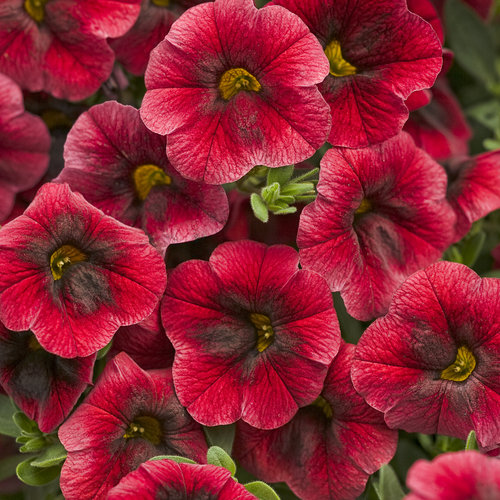 Superbells® Pomegranate Punch - Calibrachoa hybrid