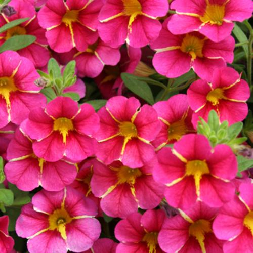 Superbells cherry star calibrachoa hybrid proven winners - Calibrachoa superbells ...