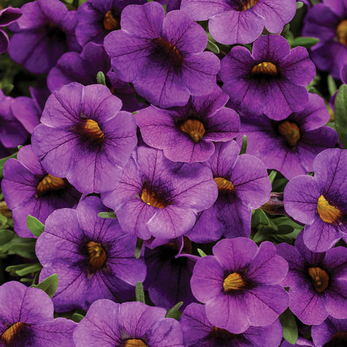 Superbells® TableTop™ Blue - Calibrachoa hybrid