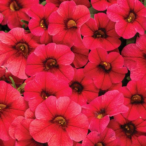 Superbells® TableTop™ Red - Calibrachoa hybrid