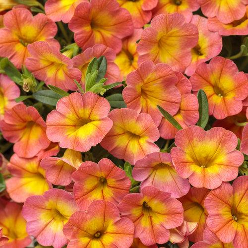 Superbells® Coral Sun - Calibrachoa hybrid