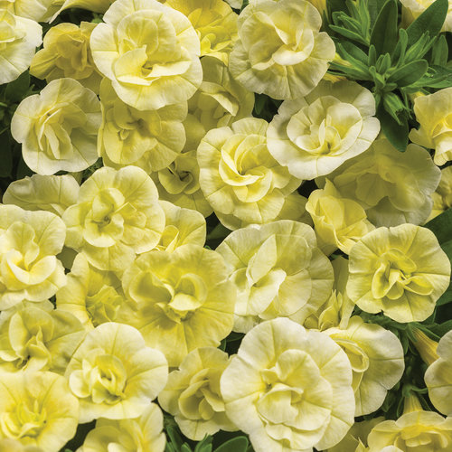 Superbells® Double Chiffon - Double Calibrachoa - Calibrachoa hybrid