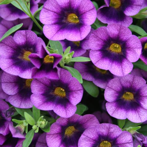 Superbells grape punch calibrachoa hybrid proven winners - Calibrachoa superbells ...