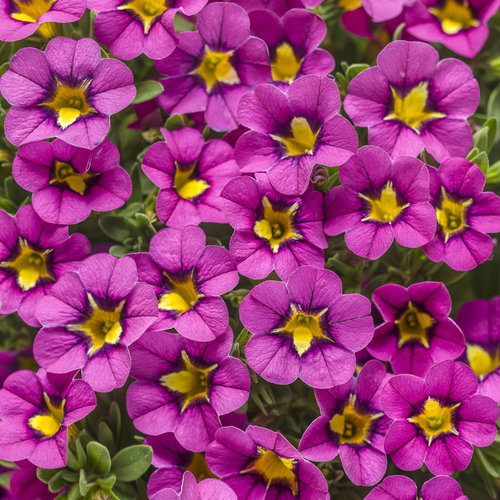 Superbells® Hollywood Star™ - Calibrachoa hybrid