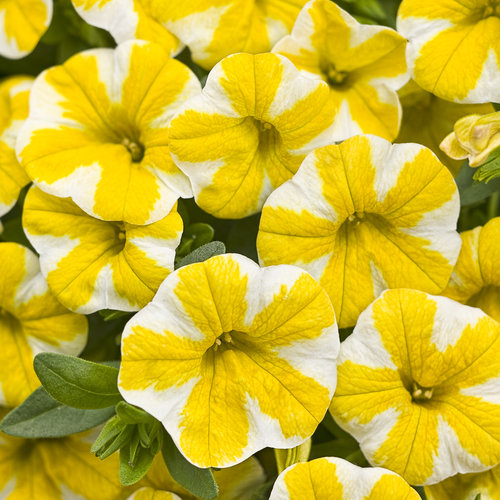 superbells lemon slice calibrachoa hybrid proven winners. Black Bedroom Furniture Sets. Home Design Ideas