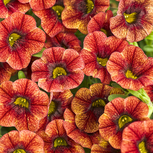 Superbells spicy calibrachoa hybrid proven winners - Calibrachoa superbells ...