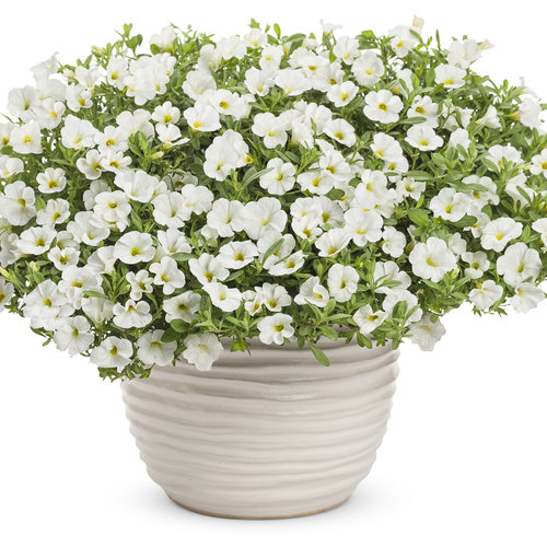 Superbells® White - Calibrachoa hybrid