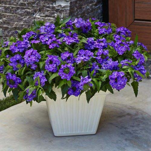 superbena-violet-ice-verbena-hybrid4.jpg