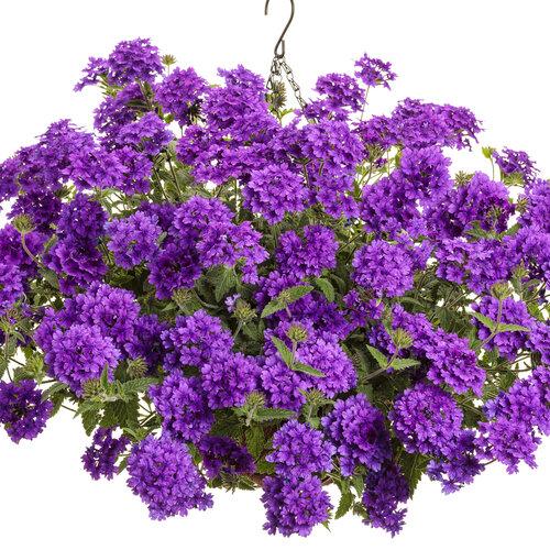 superbena_imperial_blue_basket.jpg