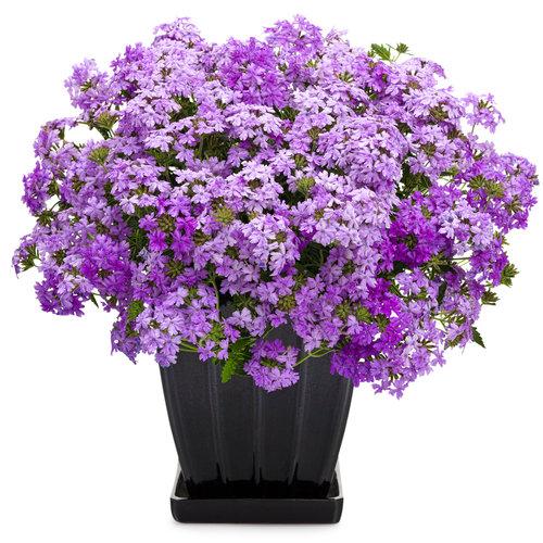 superbena large lilac blue mono.jpg