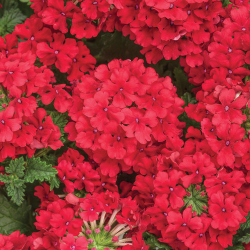 Superbena® Red - Verbena hybrid