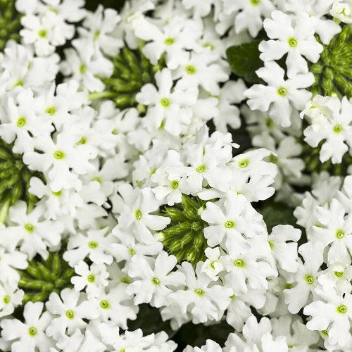 Superbena® Royale Whitecap - Verbena hybrid