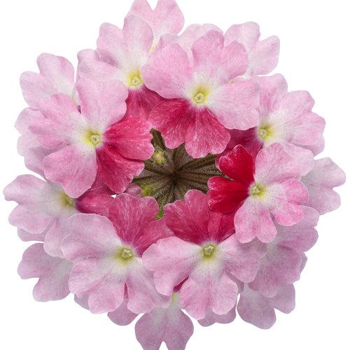 superbena_sparkling_rose_02.jpg
