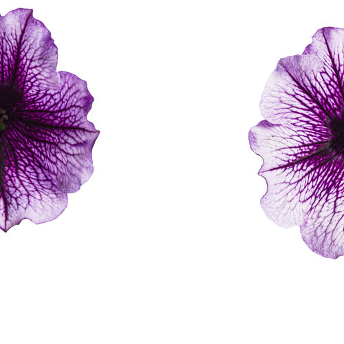 supertunia_bordeaux_001.jpg