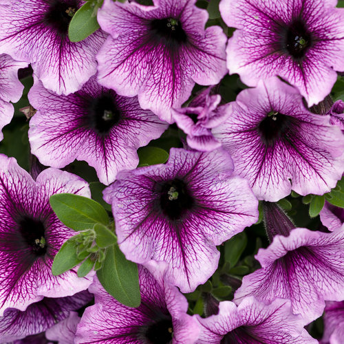 Supertunia® Bordeaux™ - Petunia – These Vigorous Annual Flowers Offer Versatility and Variety hybrid