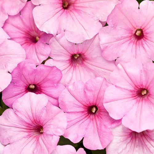 Supertunia® Cotton Candy - Petunia hybrid