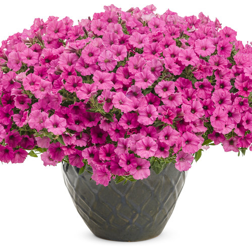 supertunia_hot_pink_charm_mono.jpg