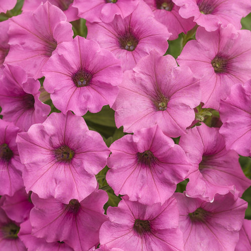 Supertunia Mini Vista® Hot Pink - Petunia hybrid
