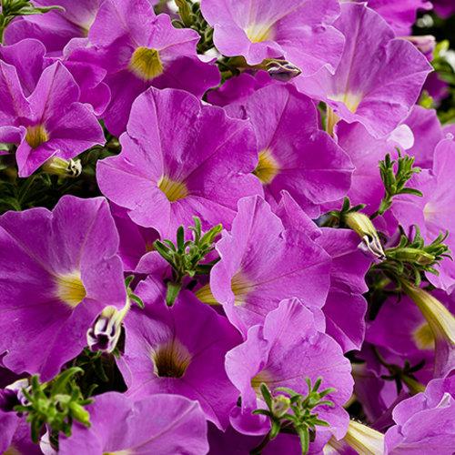 Supertunia® 'Lavender Skies' - Petunia hybrid