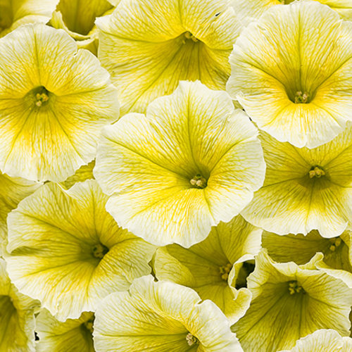 Supertunia® Limoncello™ - Petunia hybrid