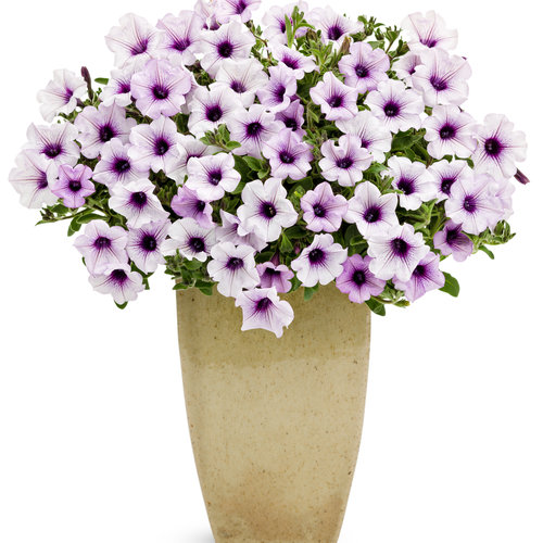 supertunia mini blue veined.jpg