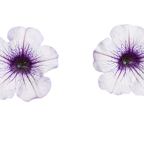 supertunia_mini_blue_veined_001.jpg