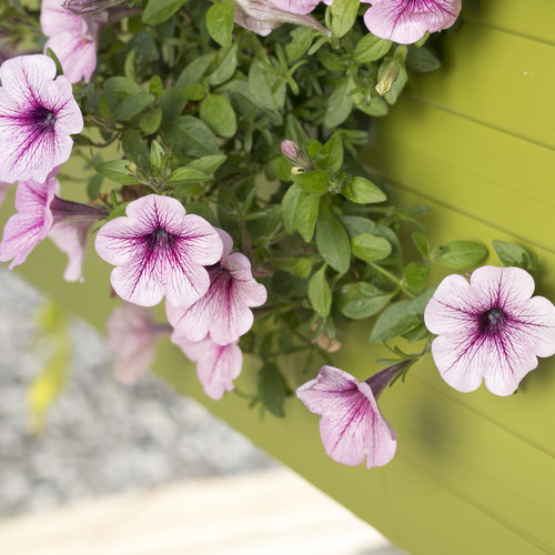 supertunia_mini_rose_veined_9.jpg