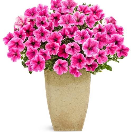 supertunia mini strawberry pink veined.jpg
