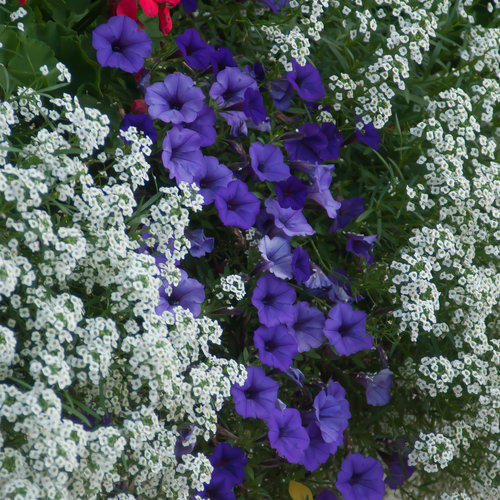 supertunia_mini_vista_ingo_petunia_snow_princess_sweet_alyssum_and_calliope_geraniums_combine_for_a_red_white_and_blue_theme.jpg