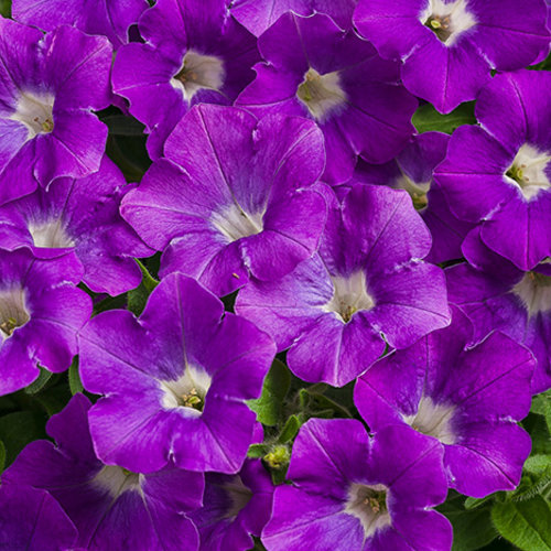 Supertunia® Morning Glory Charm - Petunia hybrid | Proven Winners