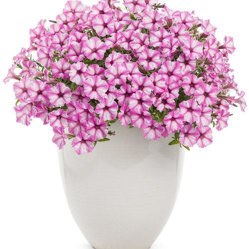 supertunia_pink_star_charm_beautymono.jpg
