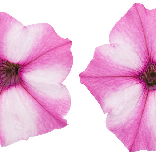 supertunia_pink_star_charm_cutout.jpg