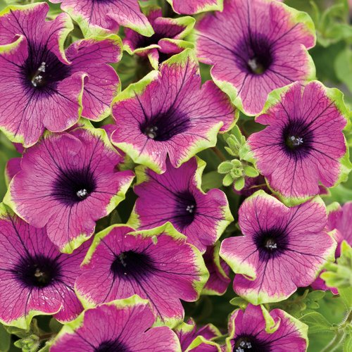 Supertunia® Pretty Much Picasso® - Petunia hybrid