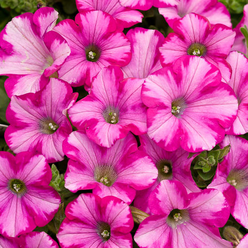 Supertunia® Pretty Much Picasso® - Petunia hybrid | Proven Winners