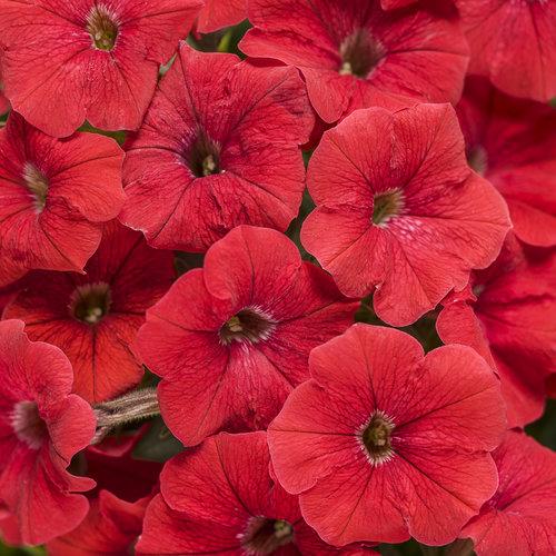 Supertunia® Really Red - Petunia hybrid