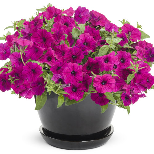 supertunia_royal_magenta_improved_mono.jpg