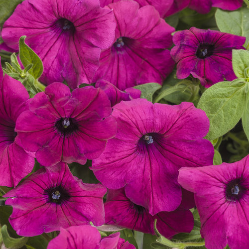 Supertunia® Royal Magenta® - Petunia hybrid